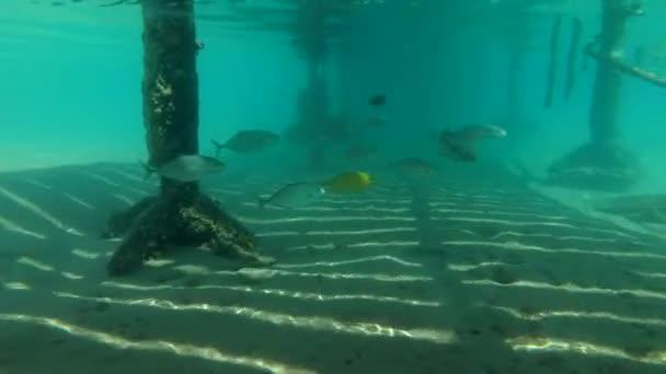 Orangespotted-Makrelen-Schule (Carangoides Bajad) jagt unter einem Steg auf eine massive Schule Hardyhead Silverside (Atherinomorus Lacunosus), Rotes Meer, Marsa Alam, Ägypten