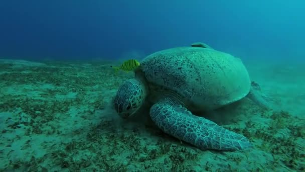 Leucism - Big male Green Sea Turtle (Chelonia mydas) with Remora fish (Echeneis naucrates) and Golden Trevally (Gnathanodon speciosus) eats the sea grass on a sandy bottom, Red sea, Marsa Alam, Abu Dabab, Egypt
