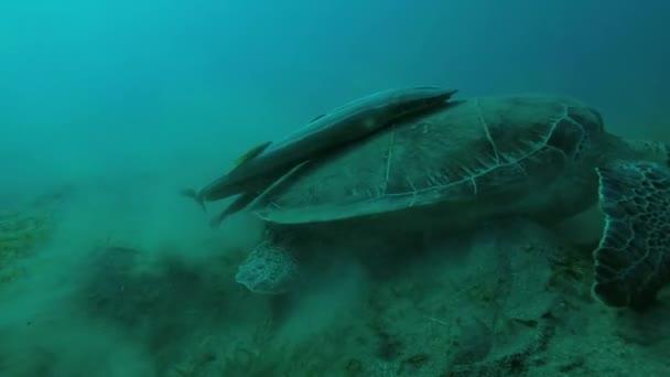 Young female Green Sea Turtle (Chelonia mydas) with Remora fish (Echeneis naucrates) on a muddy bottom, Red sea, Marsa Alam, Abu Dabab, Egypt