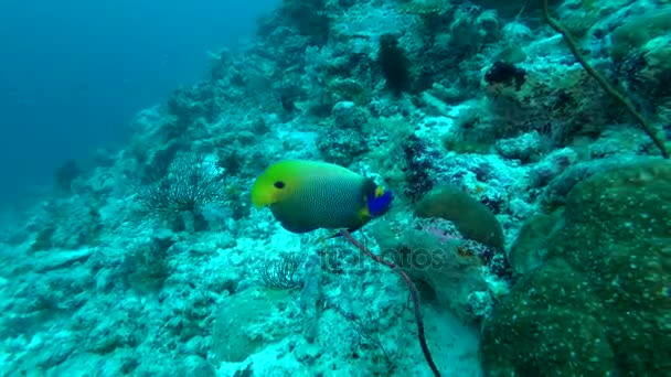 Blueface Angelfish | Blueface Angelfish Pomacanthus Xanthometopon Indian Ocean