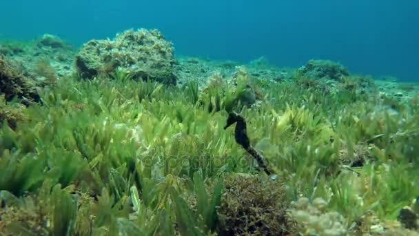 Seepferdchen schwimmen über Algen, Rotes Meer, Dahab, Sinai-Halbinsel, Ägypten