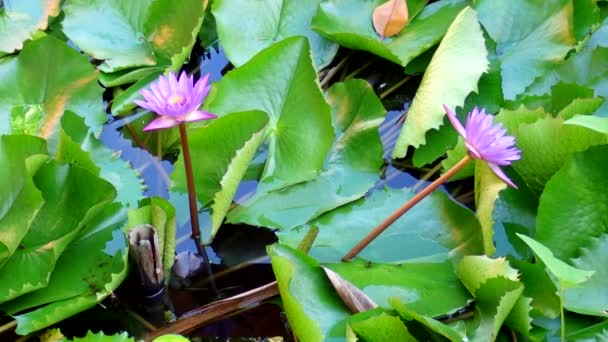 Blue Lotus, water lily (Nymphaea caerulea)