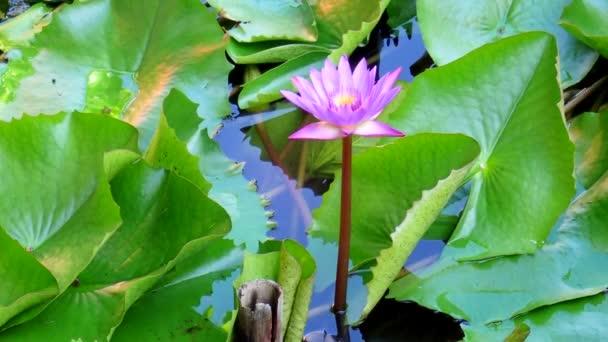 Modrý lotos, Leknín (Nymphaea modrý)