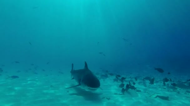 Tiger Shark swim over sandy bottom