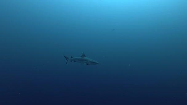 egy szürke szirtcápa kék vízben úszni