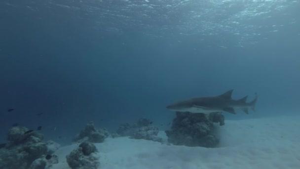 Brauner Ammenhai schwimmt tagsüber über über sandigen Boden
