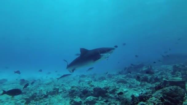 Tigerhai sammelt Überreste von Thunfisch und anderen Fischereiabfällen, die ins Meer geworfen werden
