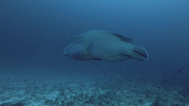 Napoleonfish o Cheilinus undulatus nuotare nellacqua blu