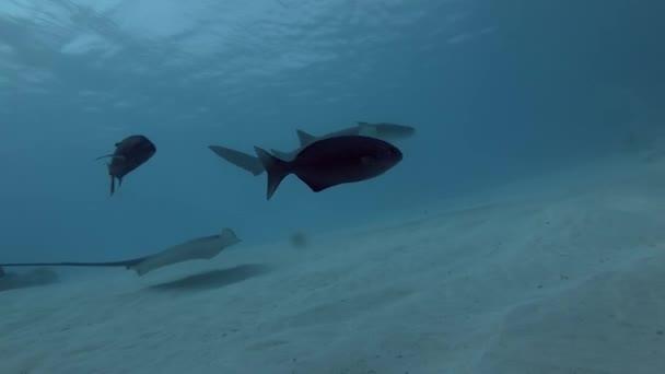 tawny Ammenhaie und rosa Peitsche schwimmt tagsüber über über sandigen Boden