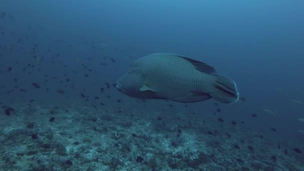 Napoleonfish o Cheilinus undulatus nuotare nellacqua blu, oceano indiano, Maldive