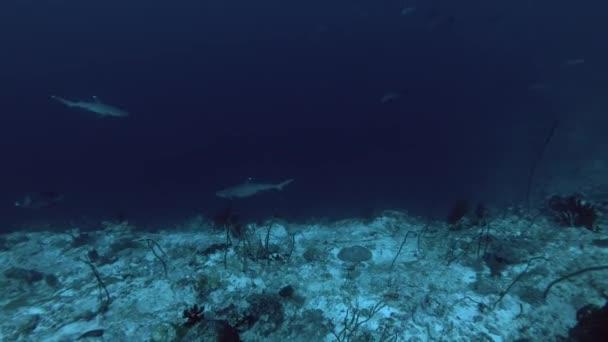 csoportja korallzátony a a mély kék átúszó Fehéruszonyú szirtcápa