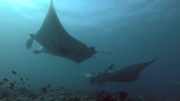 Škola z útesu Manta paprsky plavat pod vodní hladinou nad nejvyšší korálový útes