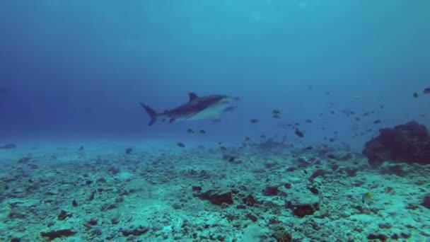 Tigriscápa úszni felett a kék vízben zátony