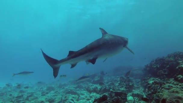 Két Tiger cápák - Galeocerdo cuvier úszik át zátony