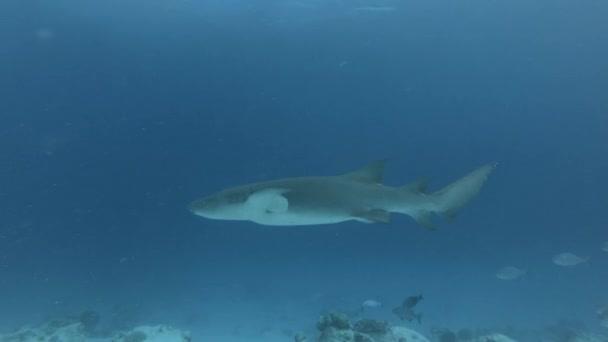 Brauner Ammenhai schwimmt in blauem Wasser über sandigen Grund