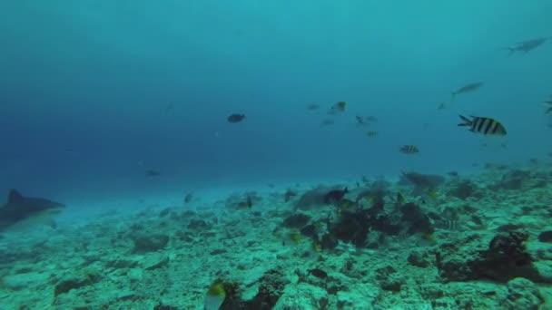 Tigerhai schwimmt über ein flaches Riff im Blauwasser