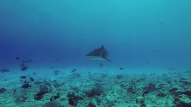Tigerhai - Galeocerdo Cuvier schwimmt über Riff in blauem Wasser