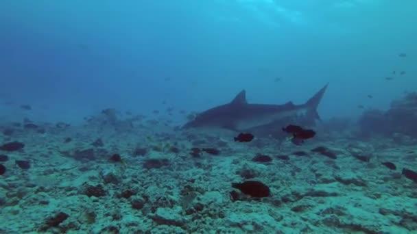 Tigriscápa - Galeocerdo cuvier úszni felett zátony