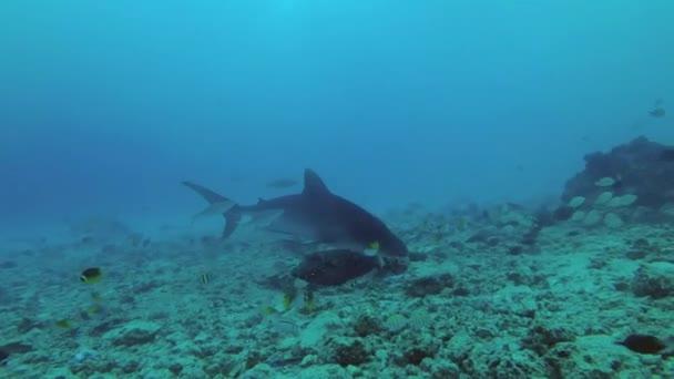Tigriscápa - Galeocerdo cuvier cruise át élelmet keresve alsó