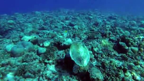 Tartaruga di mare nuota sopra la scogliera top - oceano indiano, Maldive