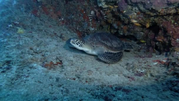 green sea turtle - Chelonia mydas lies under coral reef, Indian Ocean, Maldives