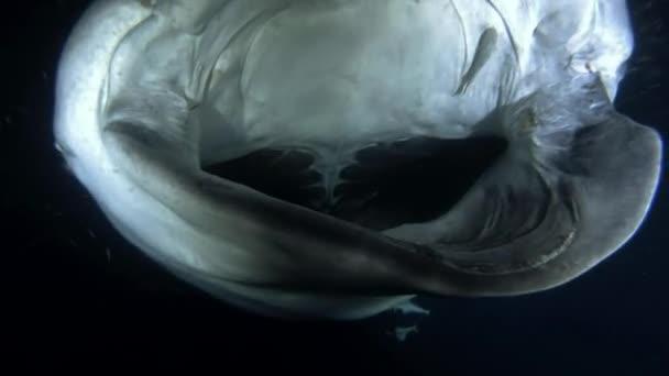 Velrybí žralok (Rhincodon typus) s otevřenými ústy, krmení krunýřovky v noci, Indický oceán, Maledivy, Asie