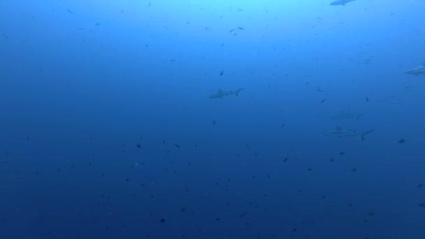 Group of Grey reef sharks - Carcharhinus amblyrhynchos swims in the blue ocean