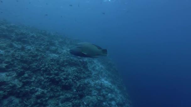 Humphead ajakoshal vagy Napoleonfish - Cheilinus undulatus úszni a kék víz, az Indiai-óceánon, a Maldív-szigetek