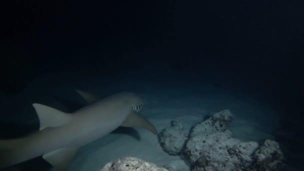 INDIAN OCEAN, MALDIVES, ASIA - MARCH 2018: Female scuba diver look at nurse shark in the night. Giant sleepy shark or Tawny nurse shark - Nebrius ferrugineus, Indian Ocean, Maldives
