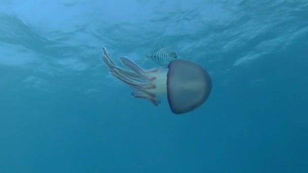 Fiatal Jackfish úszik a lila medúza irányítja a mozgását és őrzi őt. Pellagic Purple Jellyfish (Thysanostoma loriferum) és Blue Trevally (Carangoides ferdau). Közelkép, Vörös-tenger, Egyiptom