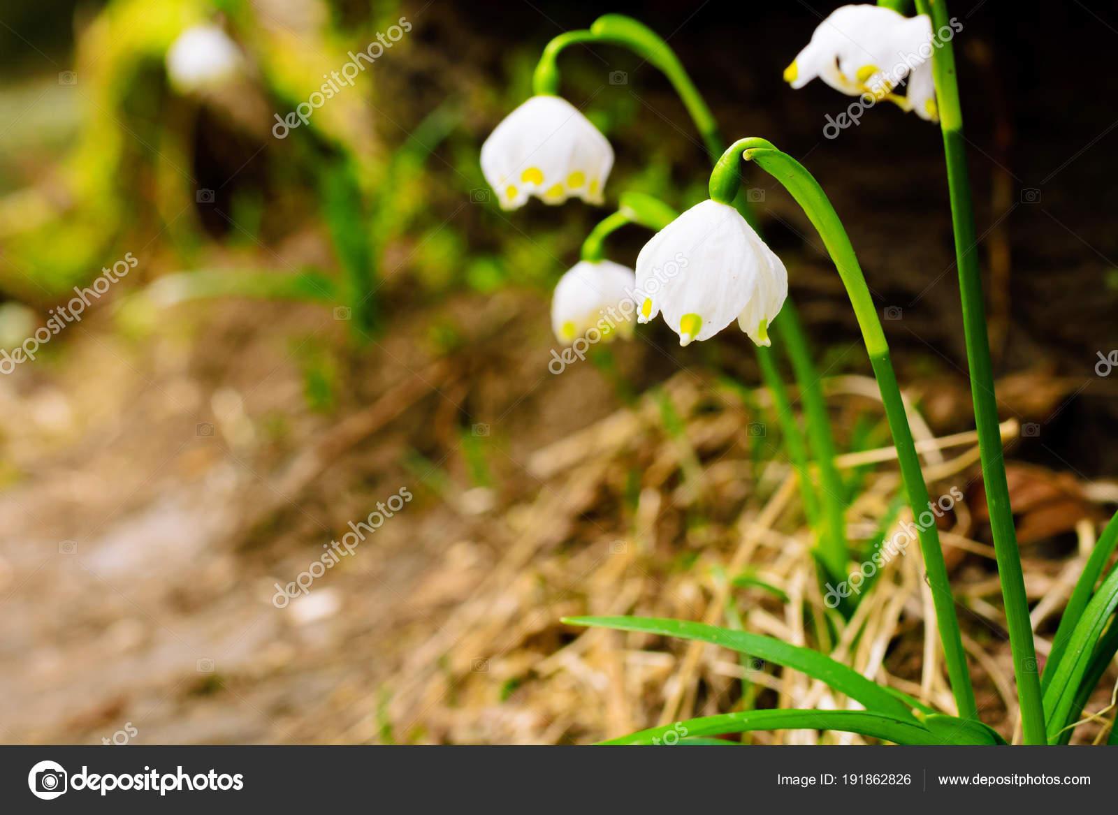 Цветы карельского перешейка