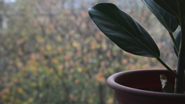 zelený fíkus rostlina v hnědém květináči na parapetu s rozmazaným pádem první nadýchaný sníh a barevné listí mimo domovské okno, zavřít celý Hd stock video záběry pozadí v reálném čase