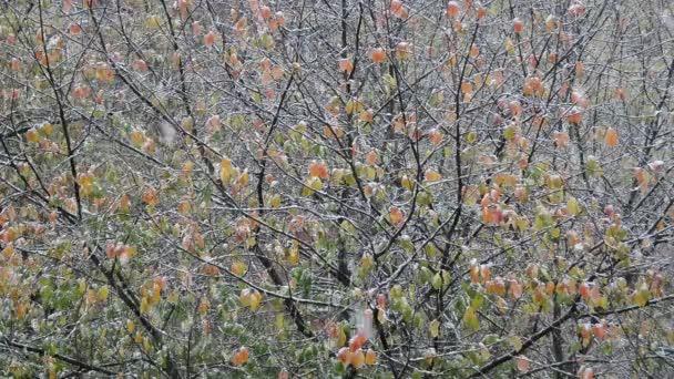 padající první podzimní sníh na barevné stromy pozadí, zblízka plné Hd stock video záběry v reálném čase