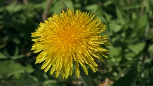 Nyugati mézelő méh (Apis mellifera) ül egy sárga virág.