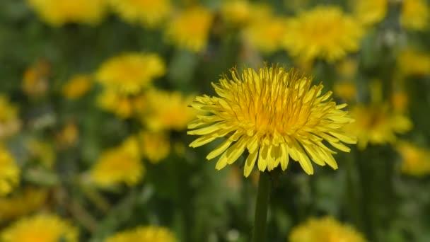 Blume Löwenzahn auf einem Hintergrund von einer blühenden Wiese