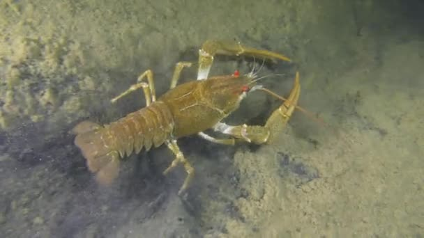 European crayfish crawling along the muddy bottom.