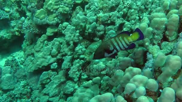 Páv hind (Cephalopholis argus) na pozadí korálů