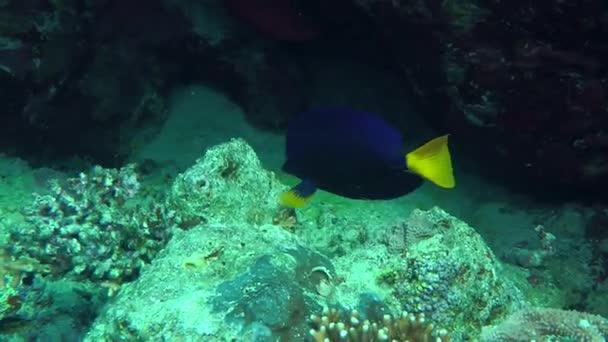 Sárgafarkú Surgeonfish (Zebrasoma xanthurum)