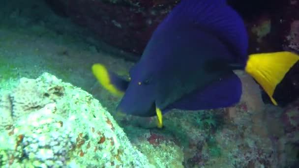 Yellowtail Surgeonfish (Zebrasoma xanthurum)