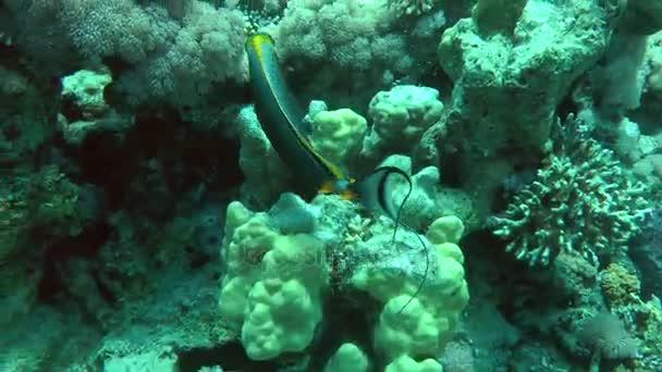 Orangespine unicornfish (Naso lituratus) na pozadí útesu