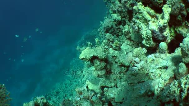 Dvojice pruhované surgeonfish (Ctenochaetus striatus), Páření hry