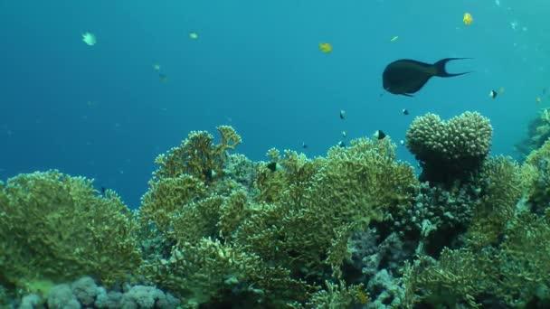 Netz-Feuerkorallenbüsche (Millepora dichotoma) an einem Korallenriff.