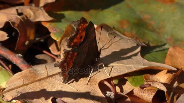 Pillangó Anglewings (Polygonia c-album).