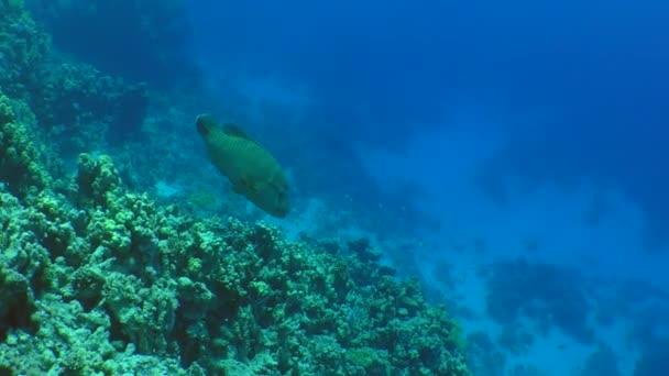 Cheilinus undulatus (Cheilinus undulatus) nuota lungo la barriera corallina