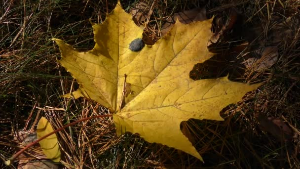 Yellow fallen maple leaf