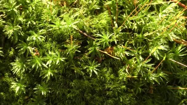 Přirozené lesní texturu, zelený mech