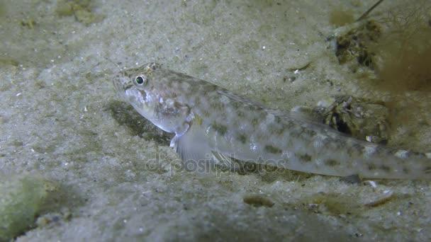 Sand goby or Monkey goby (Neogobius fluviatilis).