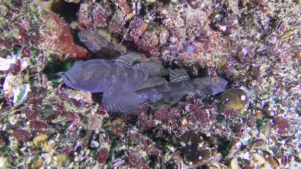 Reprodukció fekete géb (részén, a Balti niger), hal, a fészek.