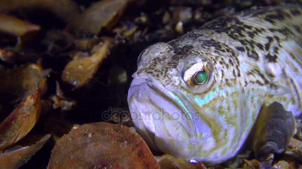 Weever davantage de poissons venimeux (Trachinus draco), portrait ...