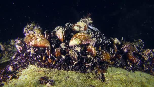 die Muschelkolonie (mytilus sp.) Verschmutzungen auf dunklem Hintergrund.